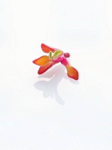 Glassalat-Blüte