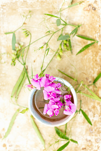 Everlasting sweet peas in ceramic bowl surrounded by seed pods and flower buds