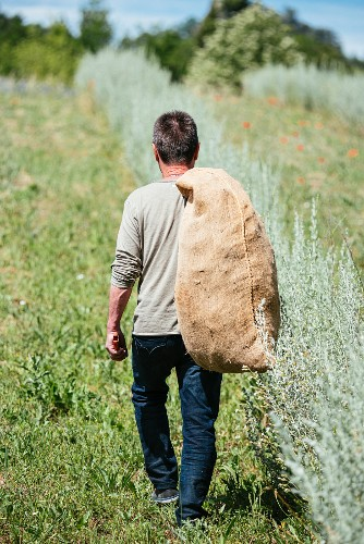 The master distiller Yves Raffatelli harvesting wormwood in Forcalquier, France