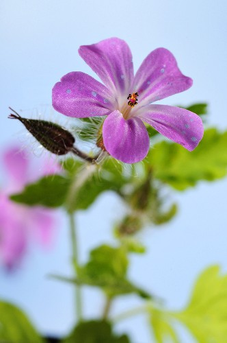 Herb robert (geranium robertianum) with a flower