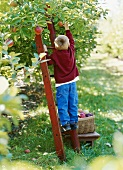 Boy picking apples from a tree