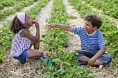Two children eating strawberries in a strawberry field