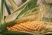 Ear of Corn with Husk