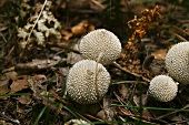 Common puffballs in forest