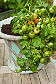 Unripe tomatoes on a tomato plant in a container