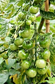 Green tomatoes on the vine in the garden