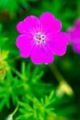 A purple garden flower (close-up)