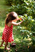 Young Girl Picking Berries from a Bush