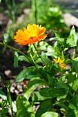 A vibrant marigold