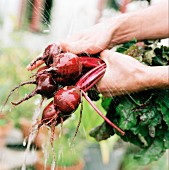 Beetroot being washed in the garden