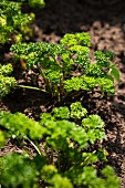 Curly parsley growing in a bed