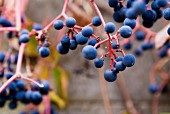 Wild Blue Berries on Branches