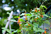 Flowering bean plants in a garden