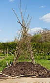 A wigwam made of brushwood in a vegetable patch for plants to climb up