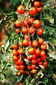 A tomato plant in the garden