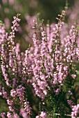 Blühendes Heidekraut (lat. Calluna vulgaris), aussen