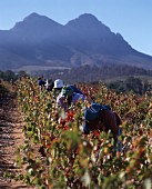 Worker picking grapes, Kanonkop, Stellenbosch, Africa
