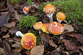Fly agaric mushrooms with moss in mixed forest