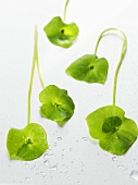 Purslane with drops of water
