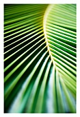 Palm leaf (full-frame)