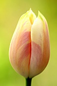 A salmon pink tulip (close-up)