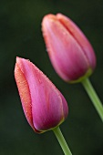 Two pink Avigon tulips with dew drops