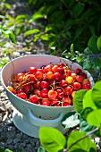 Fresh cherries in a colander in a garden