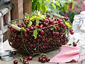 Freshly picked sour cherries in and around wire basket