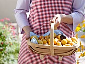 Woman holding basket of mirabelles