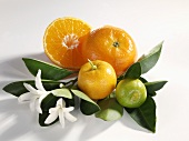 A lime and mandarin oranges on leaves with blossom