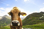 A cow on a mountainside