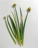 Welsh onion