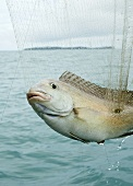 White snapper in a fishing net in Thailand