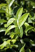 Tea plants (Shizuoka, Japan)