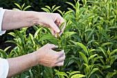 Hands picking tea leaves