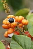 Guarana (paullinia cupana) on the plant