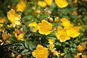 Flowering St. John's Wort (hypericum)