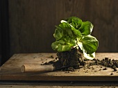 Chicory Grumolo Verde with soil on a trowel