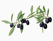 Black olives (Illustration)