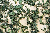 Dried stinging nettles (urtica dioica) bio-dynamic preparation