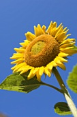 Sunflower Against a Bright Blue Sky