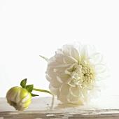 Zwei weiße Dahlienblüten