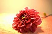 Eine rote Dahlienblüte