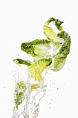 Cos lettuce being washed