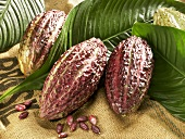 Cacao fruits with leaves