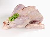 Fresh turkey, ready to cook