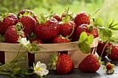 Punnet of freshly picked strawberries