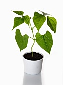 A bush bean plant growing in a flower pot