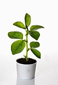 A broad bean plant growing in a flower pot