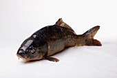 A carp on white background